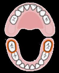 Segundos Molares Inferiores | Cronologia do nascimento dos dentes, erupção dentária | AloBaby®