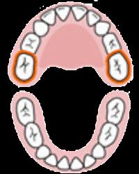 Segundos Molares Superiores | Cronologia do nascimento dos dentes, erupção dentária | AloBaby®