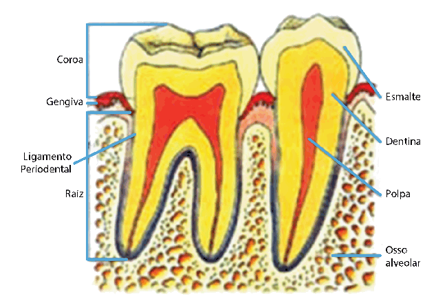 Anatomia e Estrutura do Dente | AloBaby® Primeiros Dentes